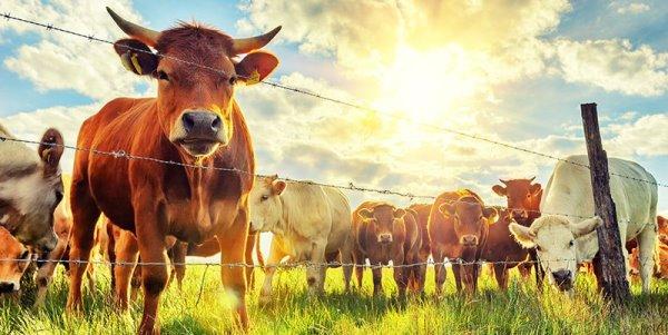 интенсификация животноводства
