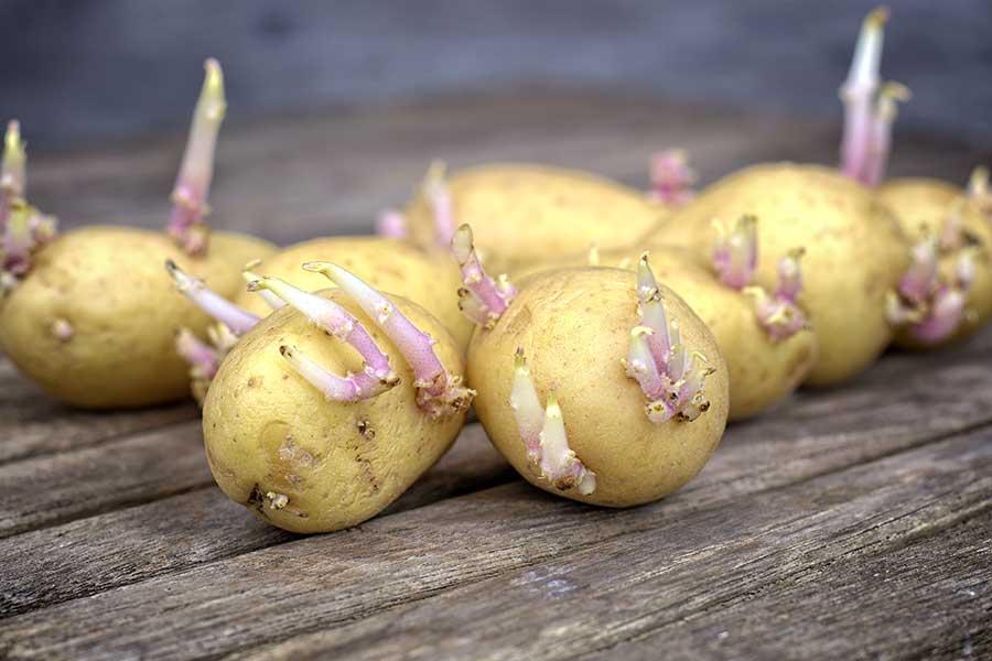 Подготовка клубней картофеля к посадке