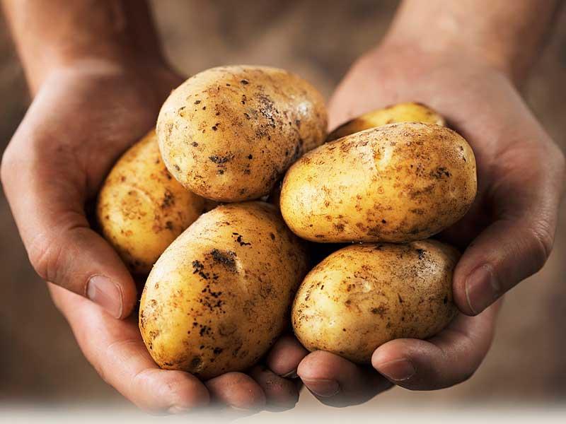 Картофель: полезные свойства и вред
