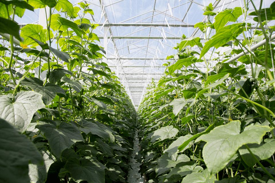 Раннее выращивание огурцов в полиэтиленовых теплицах