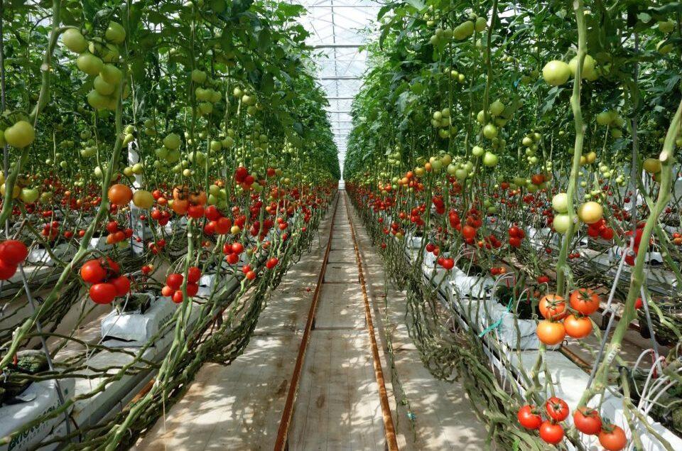 Выращивание ранних томатов в полиэтиленовых теплицах