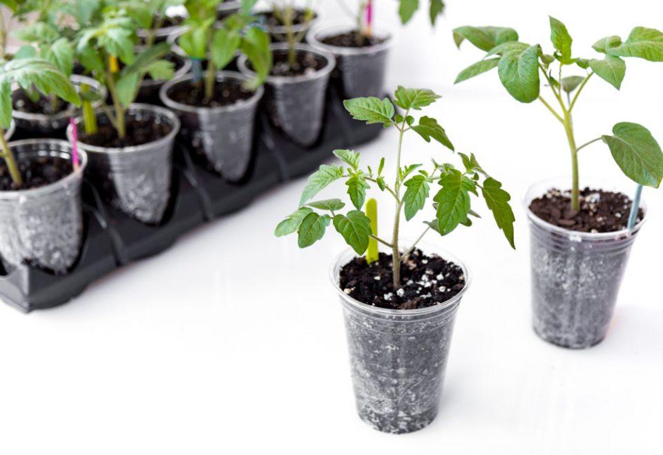 Специальная пересадка выдернутых саженцев томатов