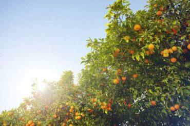 16 стандартных цитрусовых деревьев