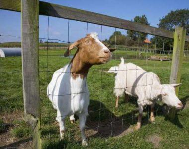 Какие породы коз лучше выращивать для мяса?