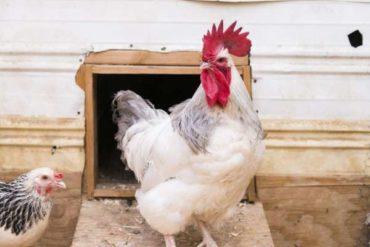 Несут ли куры яйца без петуха?