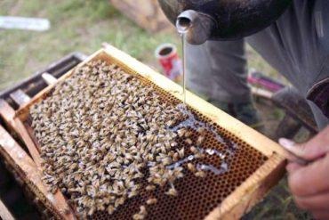 Когда кормить медоносных пчел