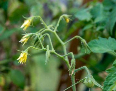 Опадание цветков у томатов