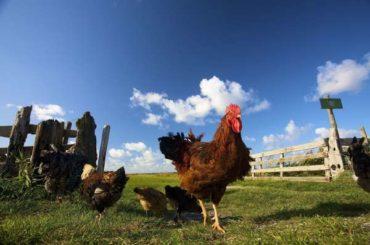 Как обрабатывать цыплят
