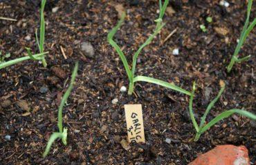 Как подготовить почву для выращивания чеснока