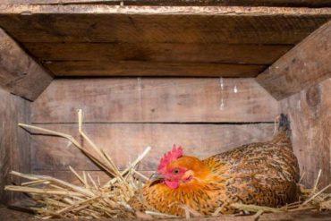 Как заставить кур откладывать яйца в гнездах