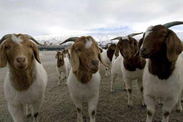 Руководство по выращиванию мясных коз