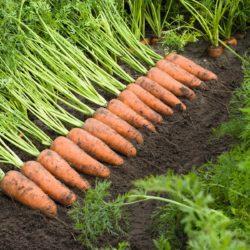 морковь сорт Кардифф купить